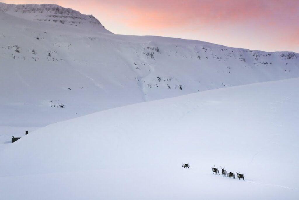 Wild Reindeer in Iceland Ring Road