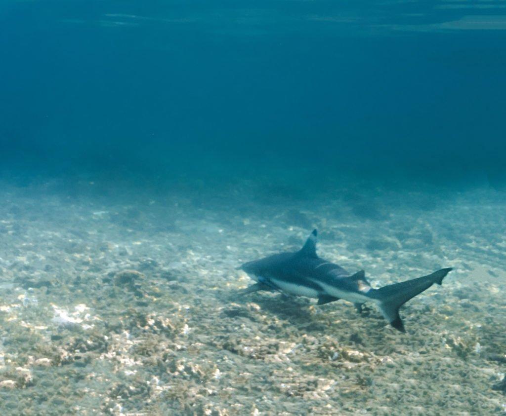 black tip reef shark in shark bay koh tao thailand