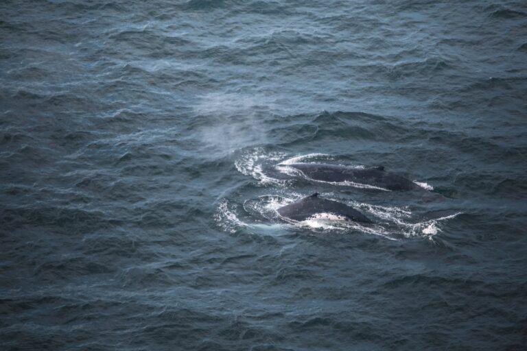 humpback whales breaching alongside a boat sailing the east coast of australia