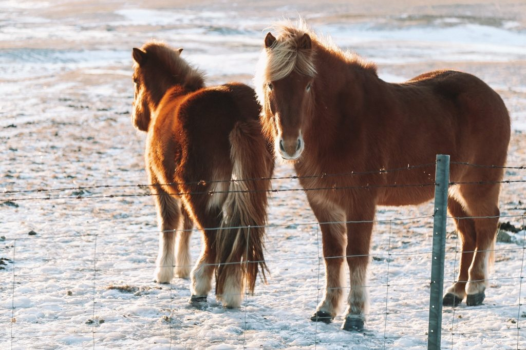 Iceland on a budget seeing wild horses in iceland