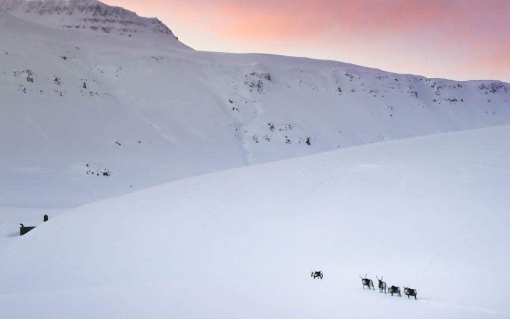 wild reindeer in iceland running in the snow.