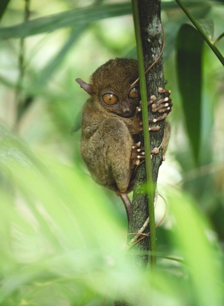endangered tarsiers in bohol in a tree
