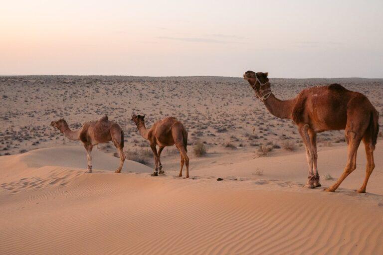 THE REAL DESERT MAN OVERNIGHT CAMEL SAFARI JAISALMER