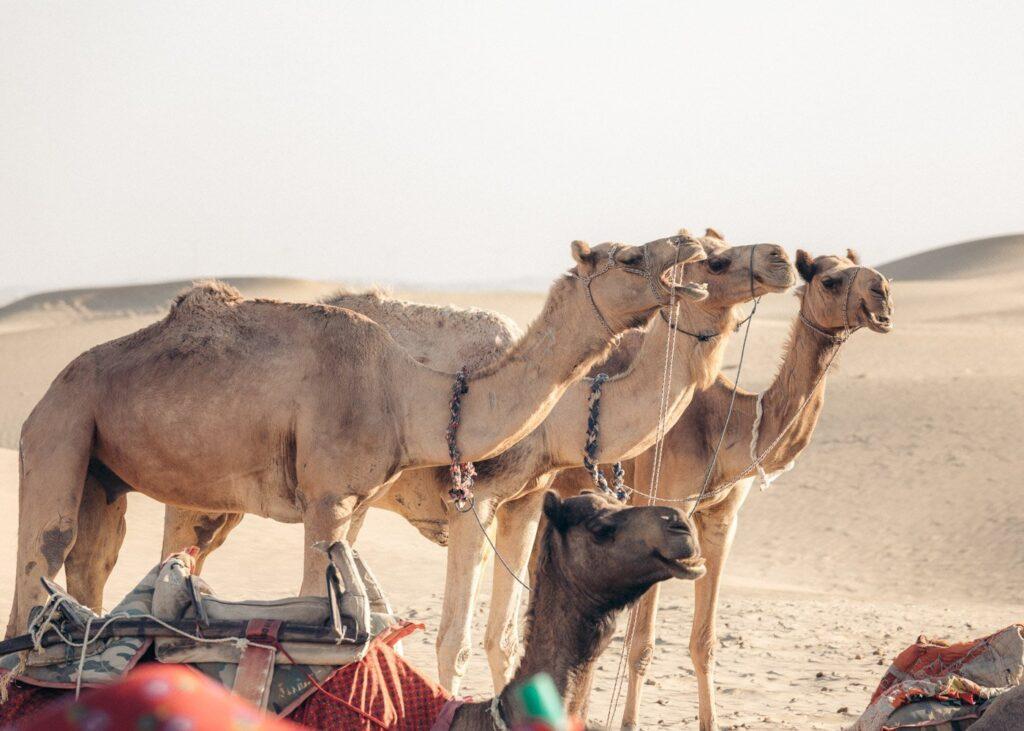 CAMELS IN JAISALMER DESERT