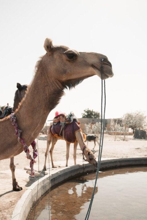 THAR DESERT CAMELS