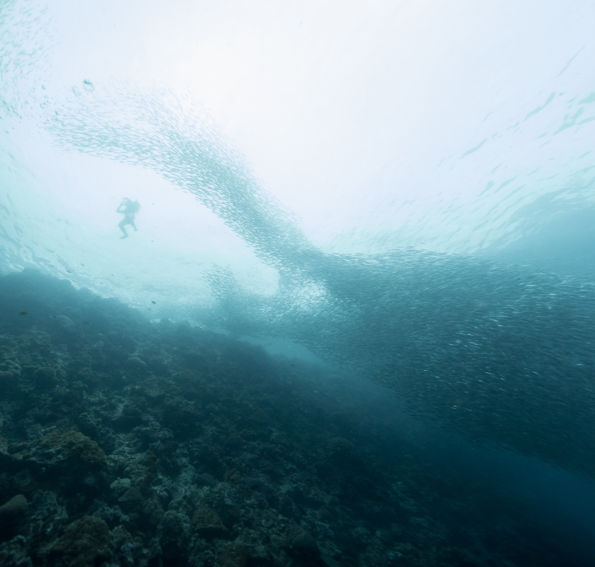 moalboal sardine run and a diver at the reef