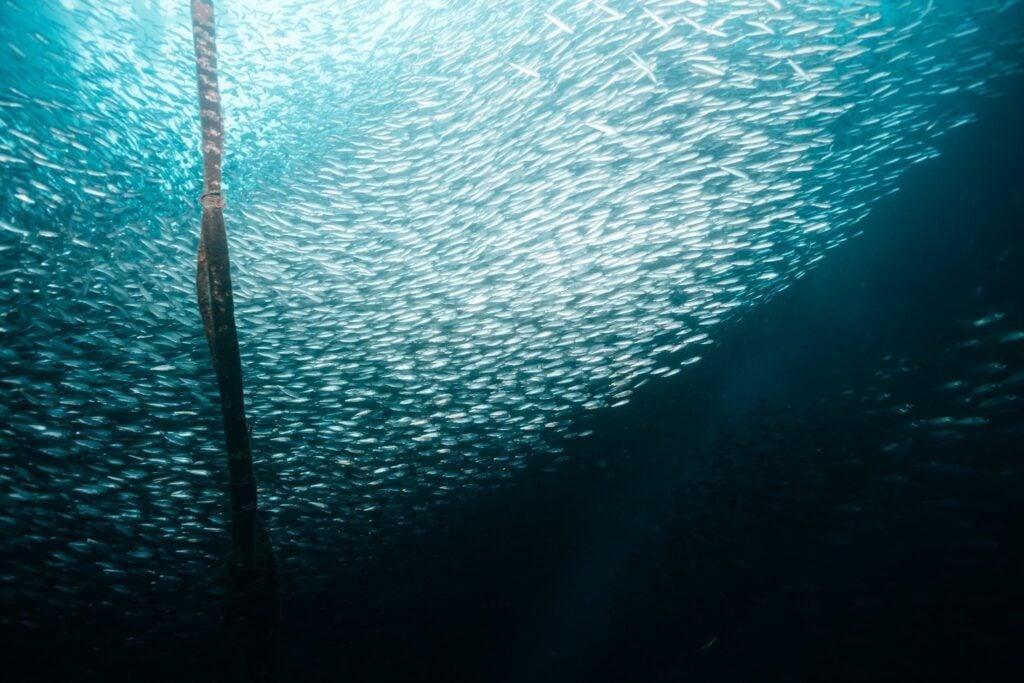 underwater photo of sardine run at moalboal