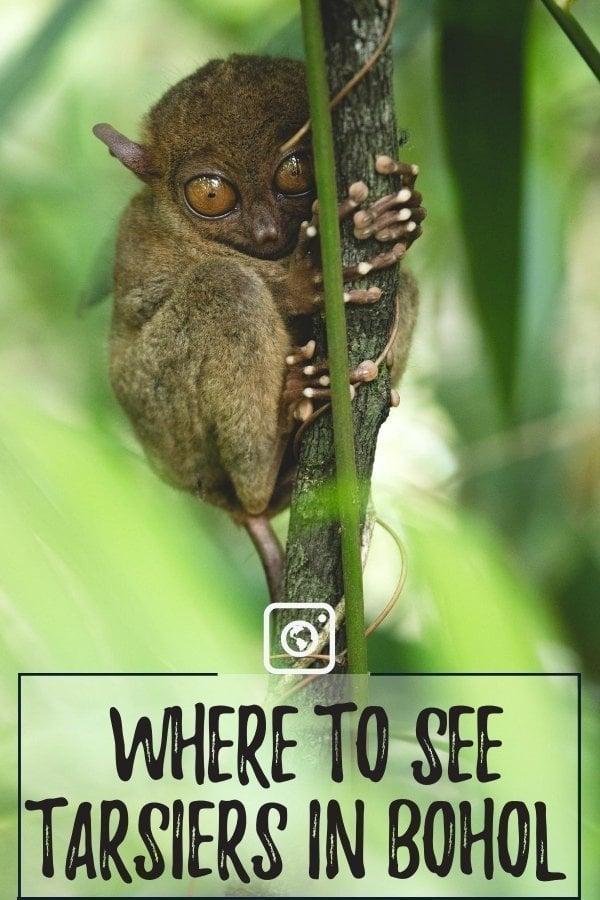 weseektravel pin tarsiers in bohol