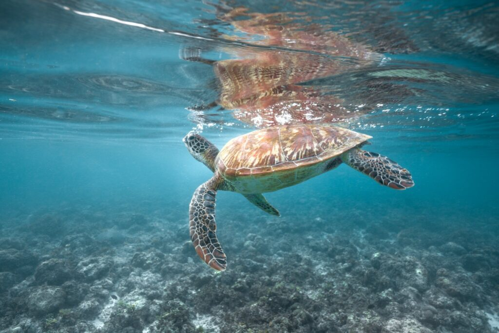 snorkeling in moalboal turtle