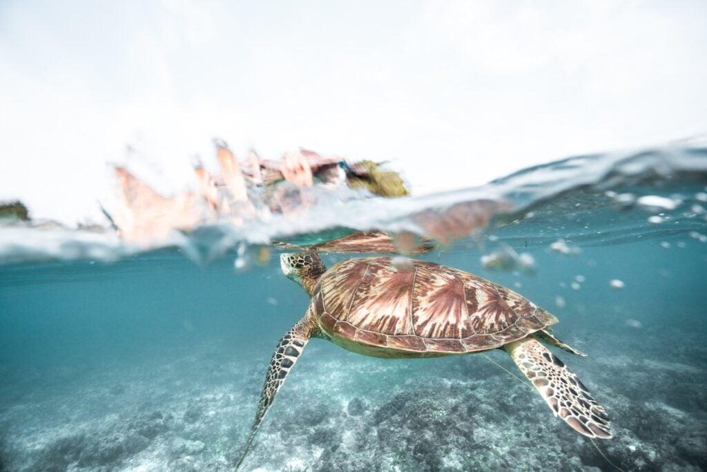 turtles in moalboal