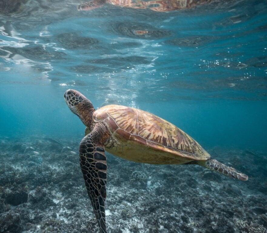 snorkeling in Moalboal giant turtles