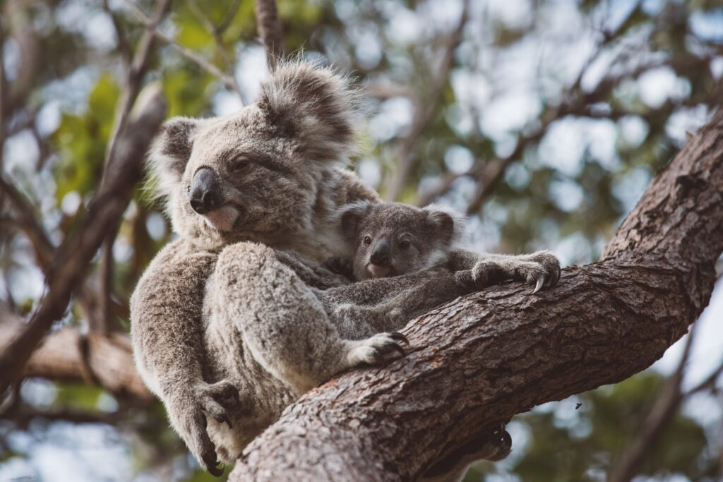 Forts walk koalas on magnetic Island
