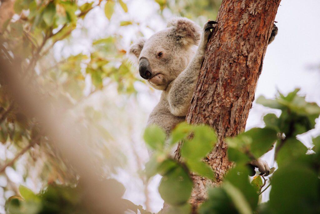 magnetic island koalas on the forts walk