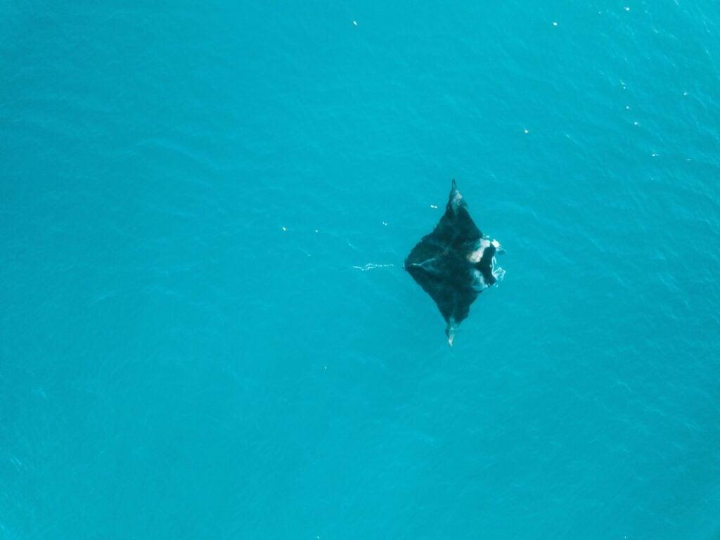 Magnetic Island Manta Ray