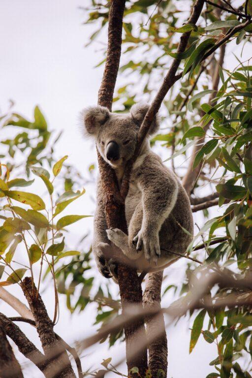 koalas on Magnetic Island