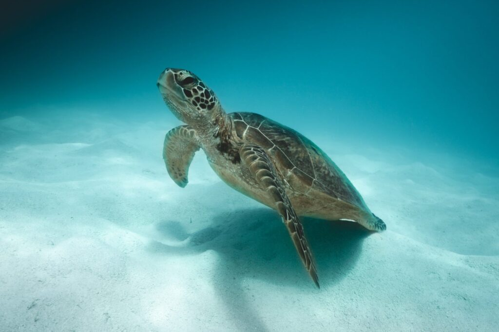 Turtle at Green Island Cairns