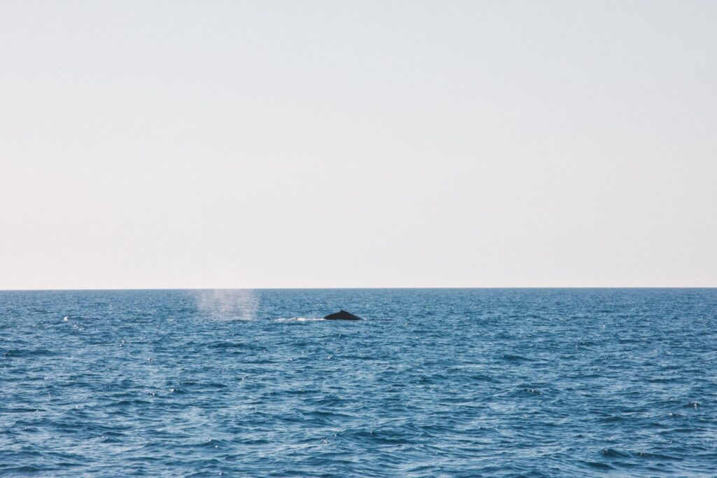 Whale at the Great Barrier Reef