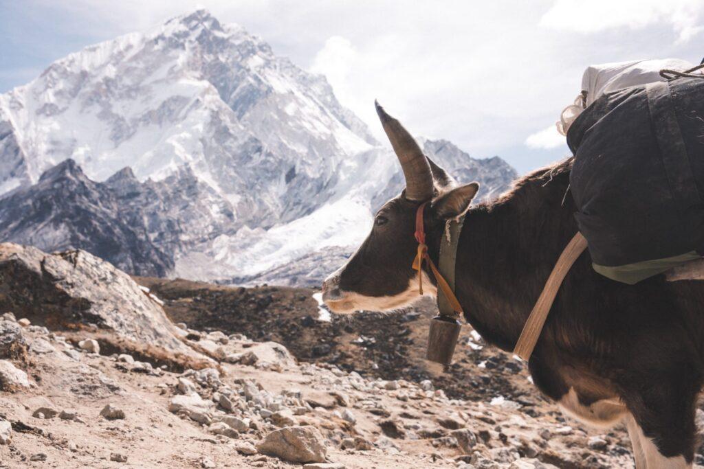 Three Passes Trek Lobuche yaks
