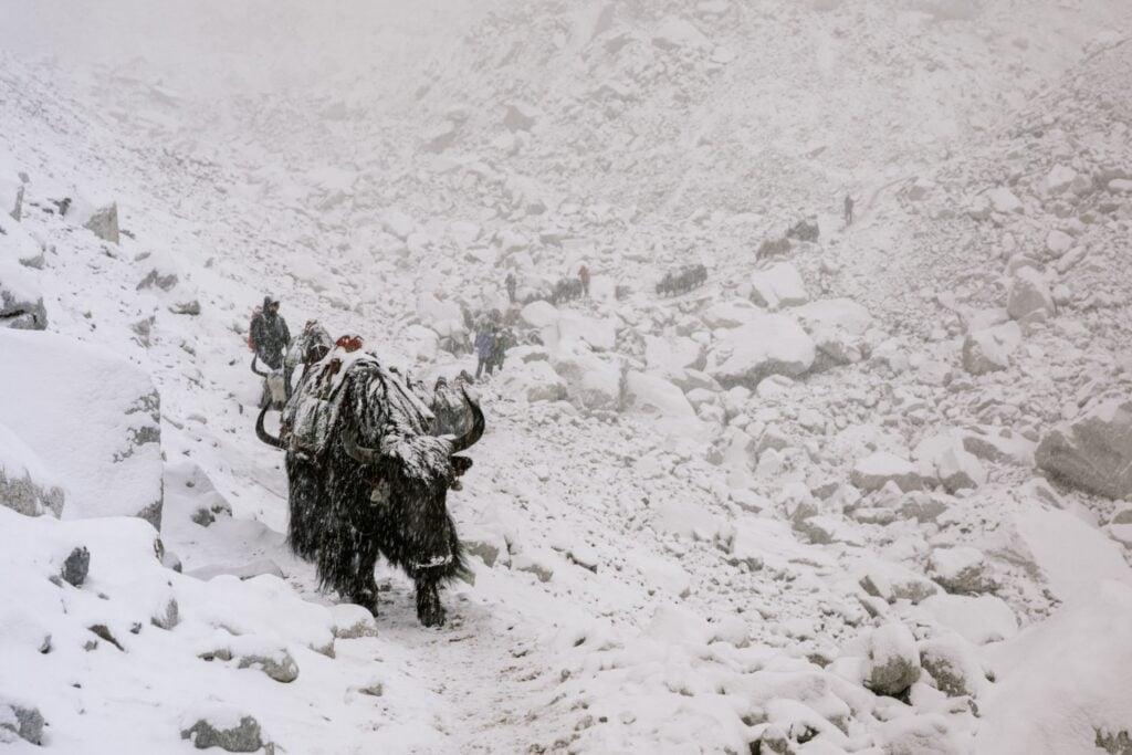 Yaks on The Three Passes and Everest Base Camp Trek
