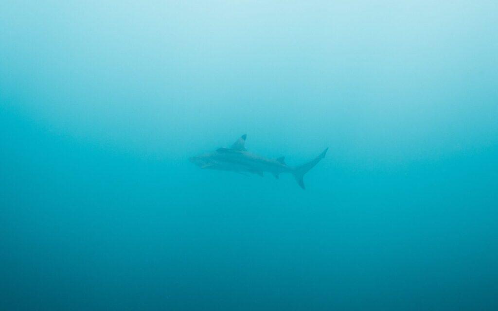 Black Tip Reef Shark at Low Isles