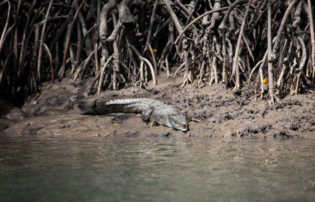 Crocodile at Port Douglas, Daintree Rainforest
