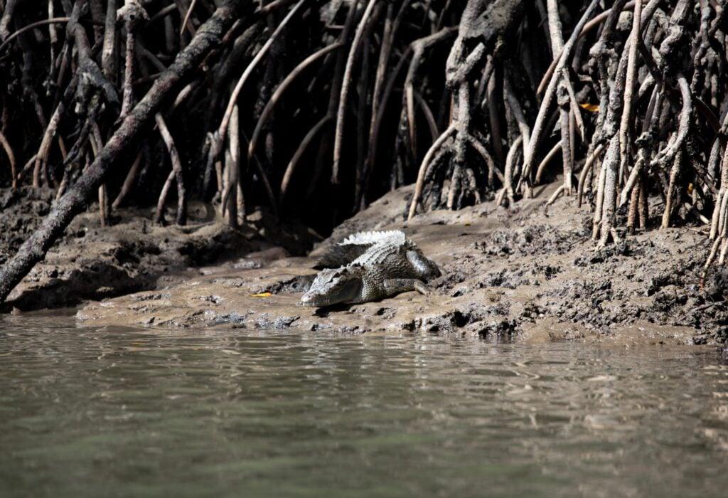 Crocodile at Port Douglas
