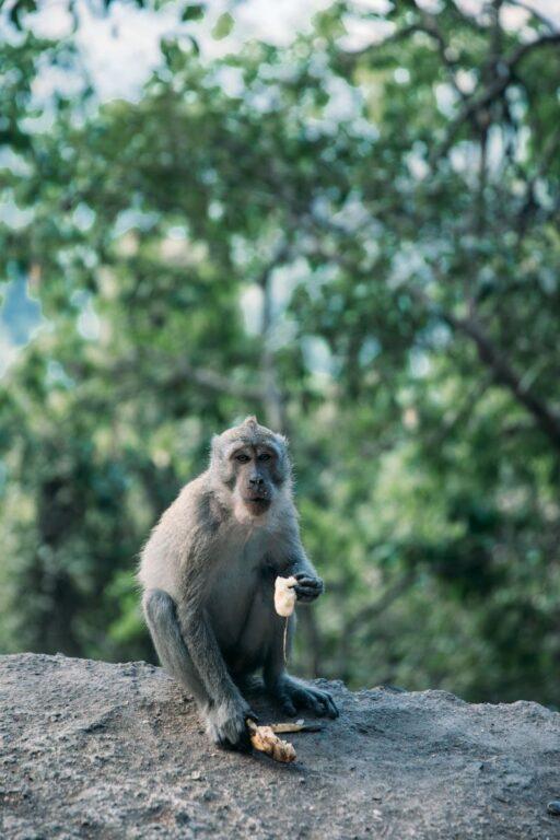 MACAQUE MONKEY AT THE LOMBOK MONKEY FOREST, BAUN PUSUK