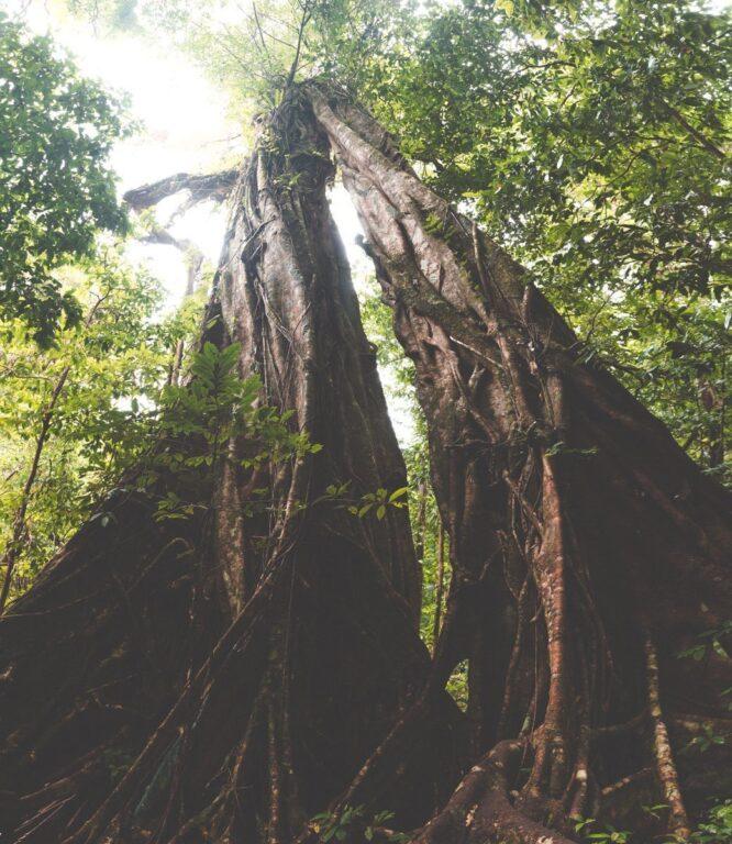 MOSSMAN GORGE WALK, RAINFOREST CIRCUIT, DAINTREE NATIONAL PARK, BIG FIG TREE