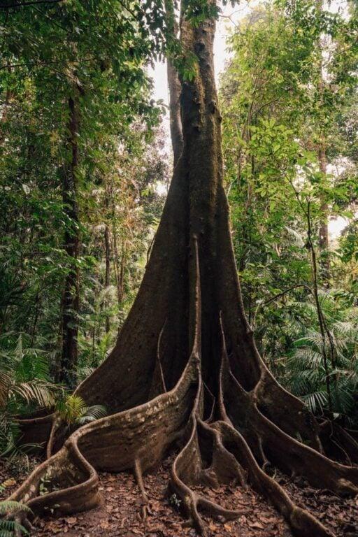 WOOROONOORAN NATIONAL PARK RAINFOREST FIG TREES