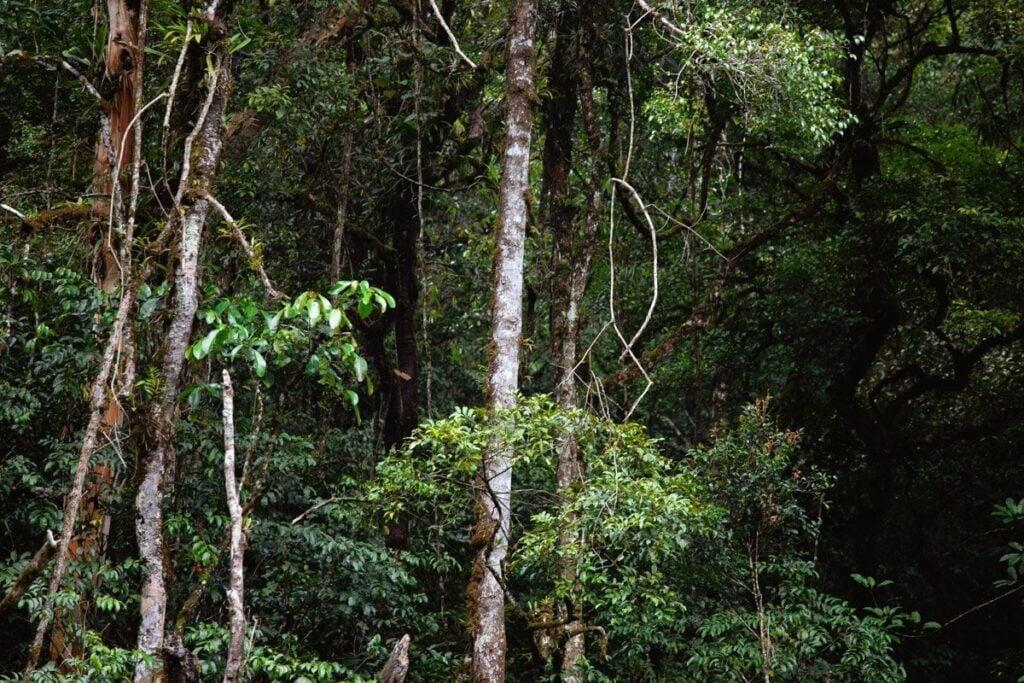 KINABALU PARK RAINFOREST TREES, SABAH BORNEO