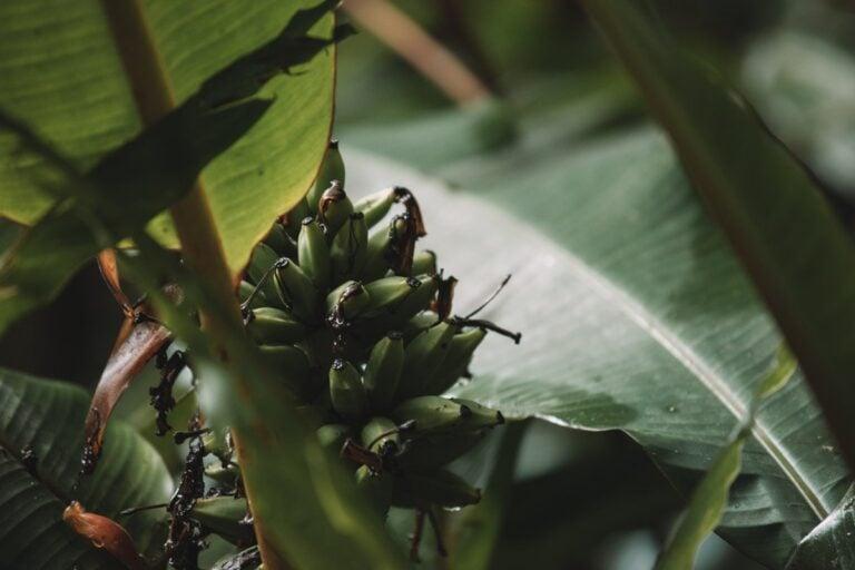 WILD BANANA TREES IN KINABALU PARK
