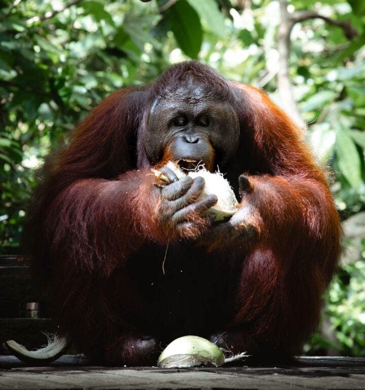 Orangutan Eating at the Orangutan rehabilitation CENTRE IN SEPILOK, SABAH, BORNEO
