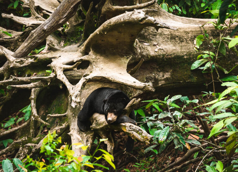 SEPILOK SUN BEAR SANCTUARY
