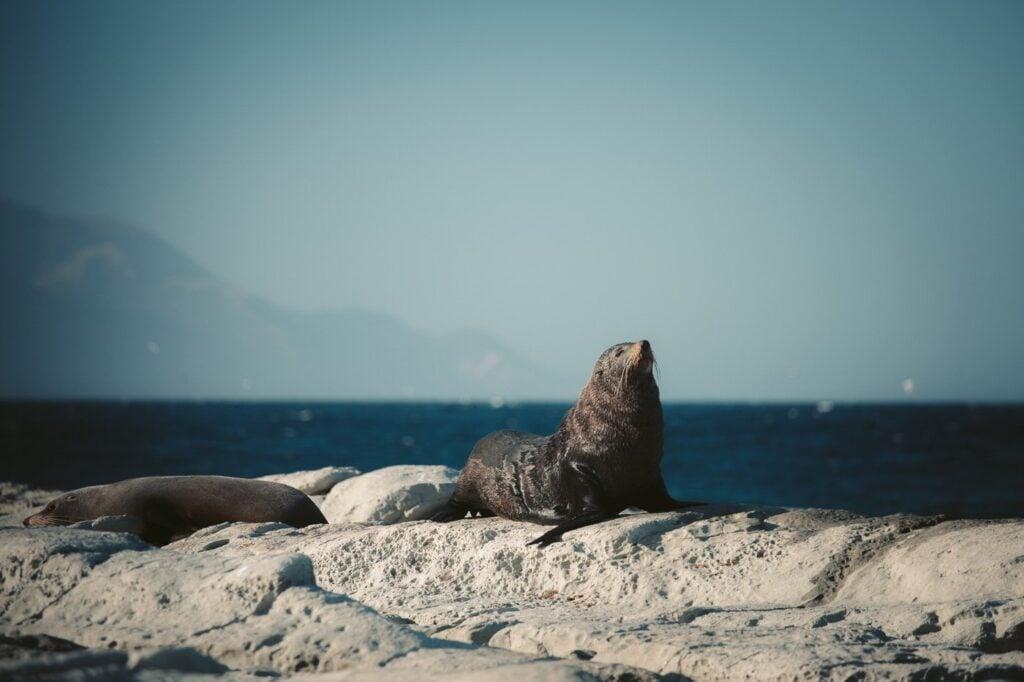 KAIKOURA PENINSULA WALKWAY SEAL COLONY