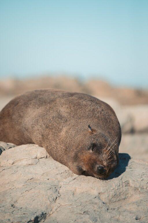 FUR SEAL IN KAIKOURA