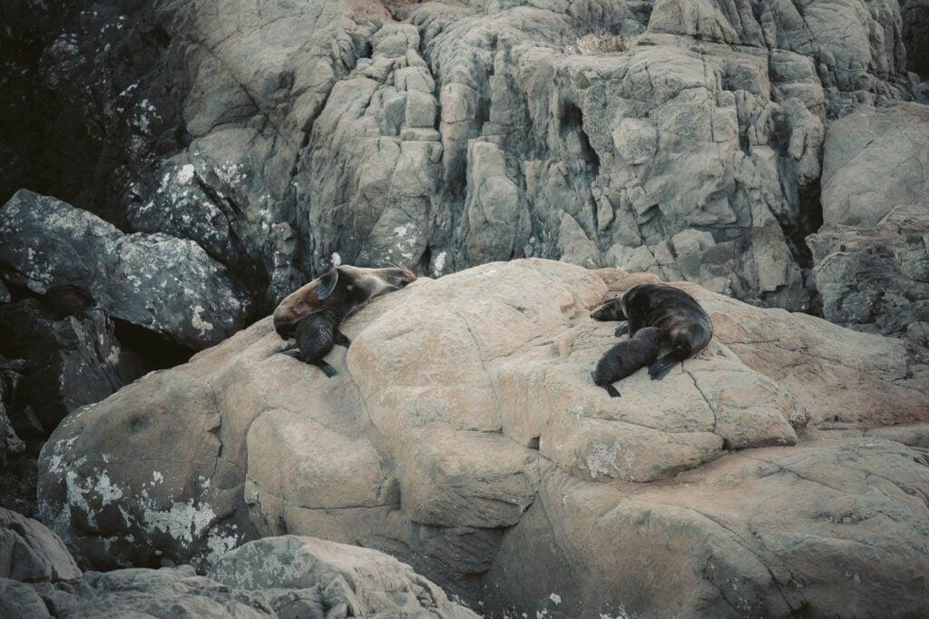 KAIKOURA SEAL COLONY AT OHAU POINT