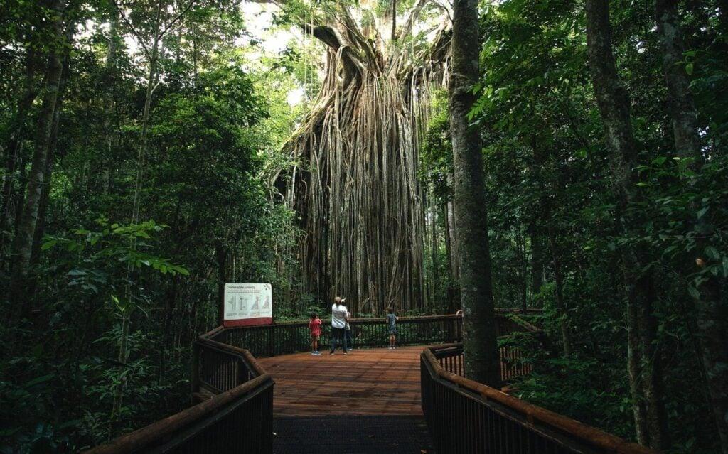 CURTAIN FIG TREE YUNGABURRA NATIONAL PARK