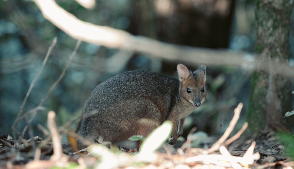 Wallaby on the Red Arrow Track in Cairns