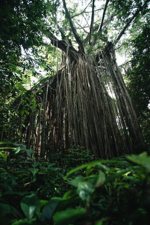 CURTAIN FIG TREE YUNGABURRA