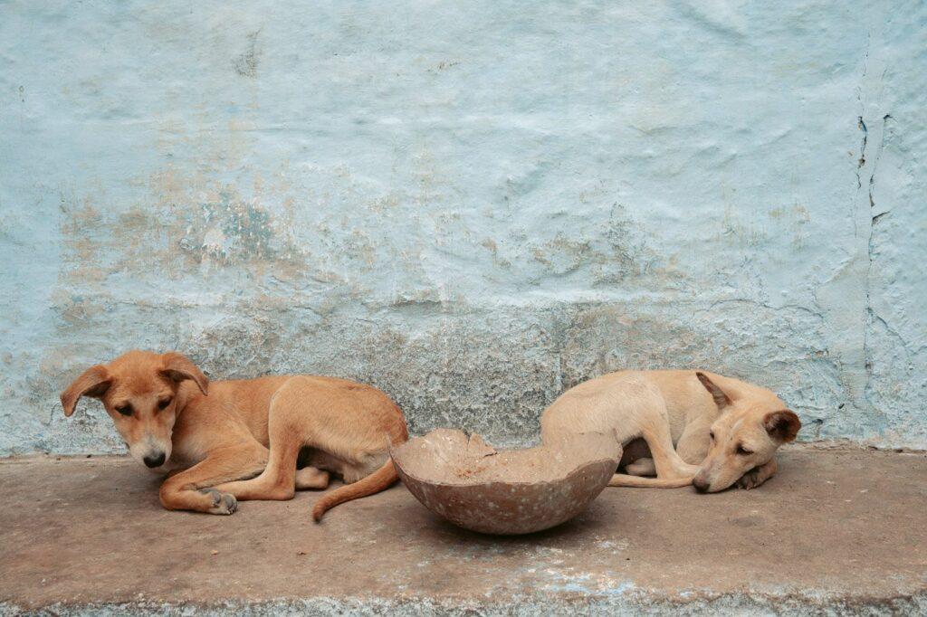 TWO DOGS SLEEPING IN JODHPURS OLD CITY