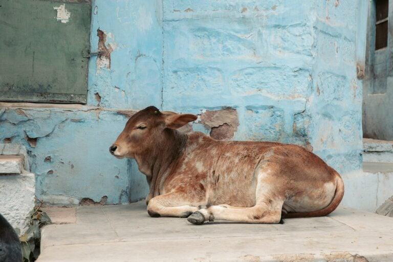 COW IN THE JODHPUR BLUE CITY