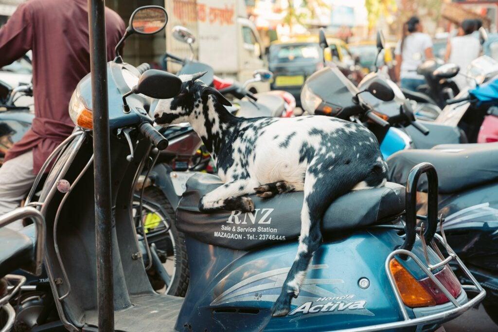 GOAT SLEEPING ON A MOTORBIKE IN MUMBAI