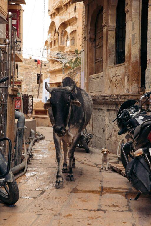 COW IN THE GOLDEN FORT OF JAISALMER
