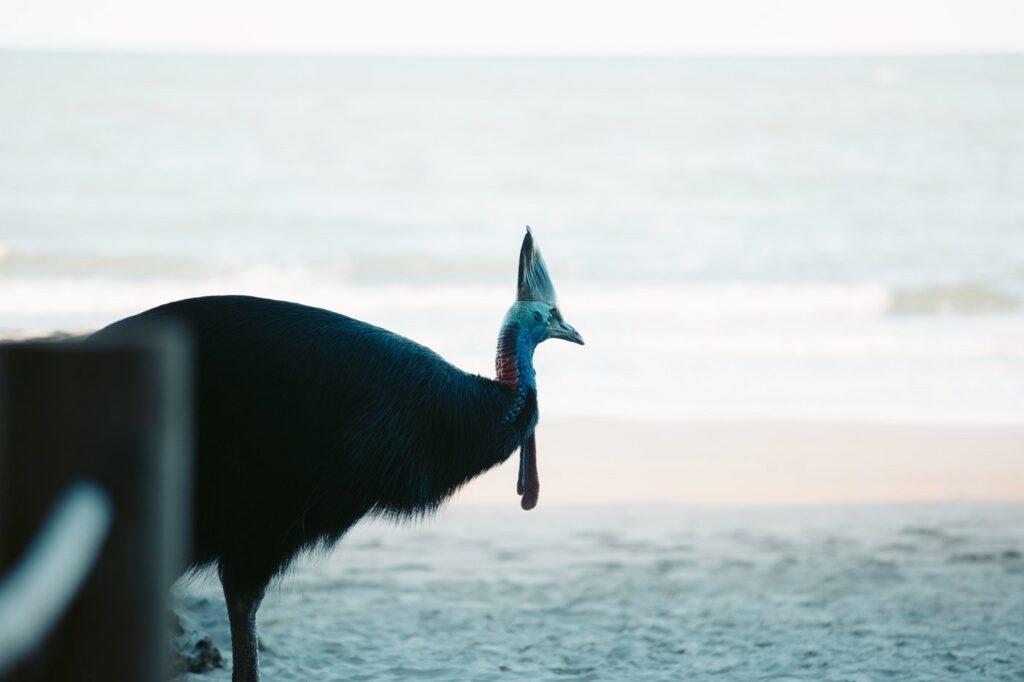 CASSOWARY AT THE BEACH