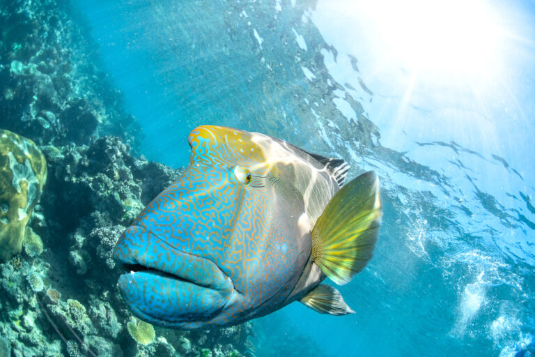 BIG MAORI WRASSE ON THE GREAT BARRIER REEF IN CAIRNS