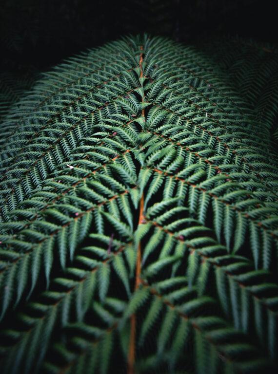 TREE FERN TASMANIA