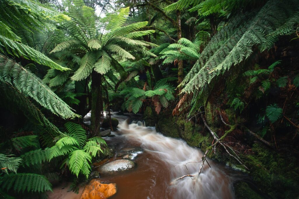 RAINFOREST FERNS AND RIVER AT ST COLUMBA FALLS STATE RESERVE