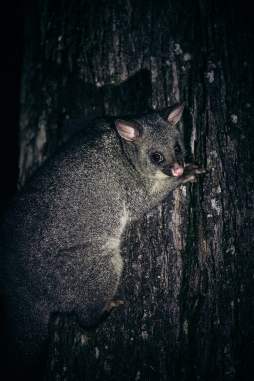 BRUSHTAIL POSSUM AT EVERCREECH STATE FOREST