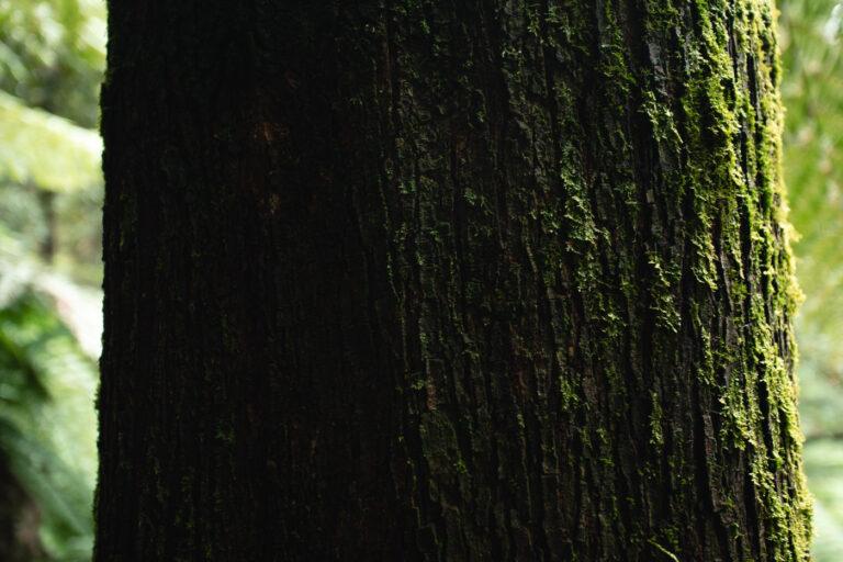 RAINFOREST TREE IN MOUNT FIELD NATIONAL PARK TASMANIA