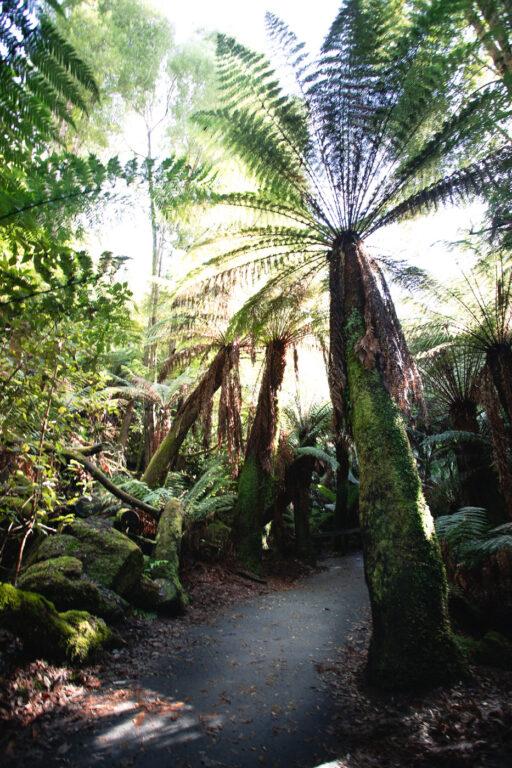 TREE FERNS ON THE THREE FALLS CIRCUIT TRACK TASMANIA